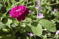 Une rose de Rescht du jardin du musée