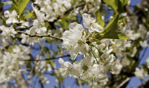 Fleurs de cerisier Griotte de Montmorency