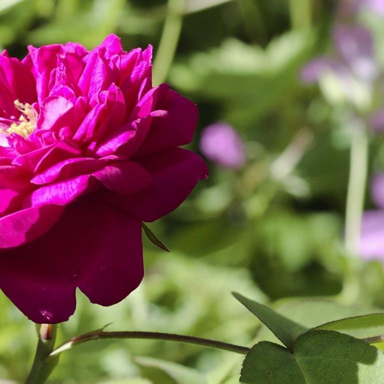 Rose de Rescht du jardin du musée